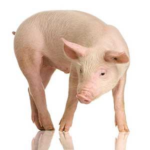 pig-100